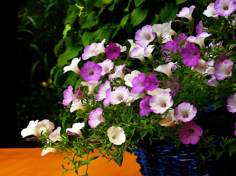 Kostenloses Foto: Petunien, Petunie, Blume, Blüte - Kostenloses ... Blutenpracht Auf Dem Balkon Blumen