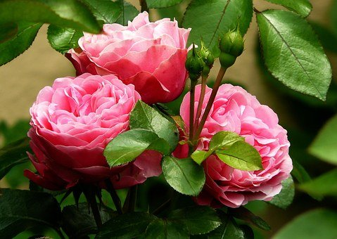 Rose Flower Images Pixabay Download Free Pictures