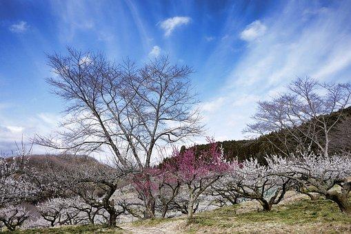 매 화, 핑크, 봄, 빈, 흰 꽃, 빨간 꽃, 흰 매화, 초봄의 꽃