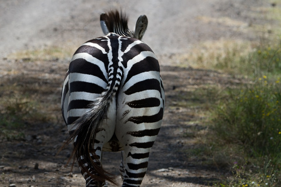 Zebra, National Park, Lake Nakuru, Africa, Kenya