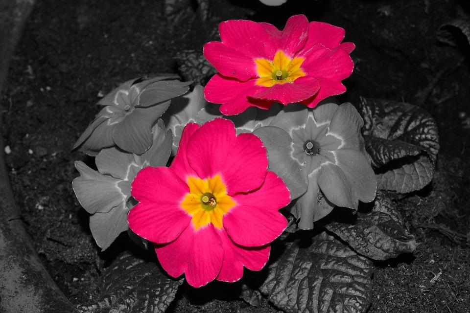 Primeln Blumen Pflanzen Balkon Blumentopf Pflanze