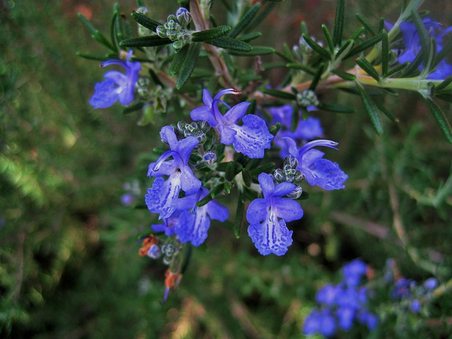 Fleurs De Romarin Bleu 183 Photo Gratuite Sur Pixabay