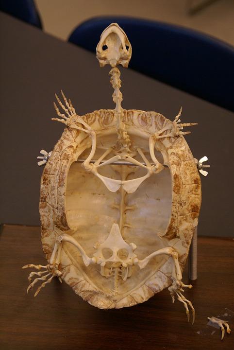 Tortuga Esqueleto Fósiles · Foto gratis en Pixabay