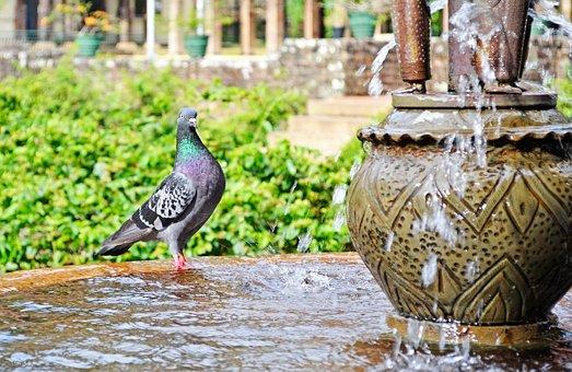 Pigeon, Water, Thirsty, Bird, Fountain