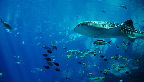Whale Shark, Shark, Aquarium, Water