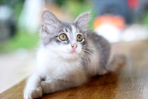 House Cat, Cat, Pet, Pet Cat