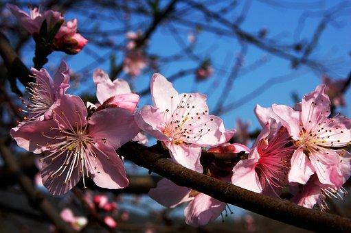 Pflaumenblüte, Rosa, Filialen, Blau