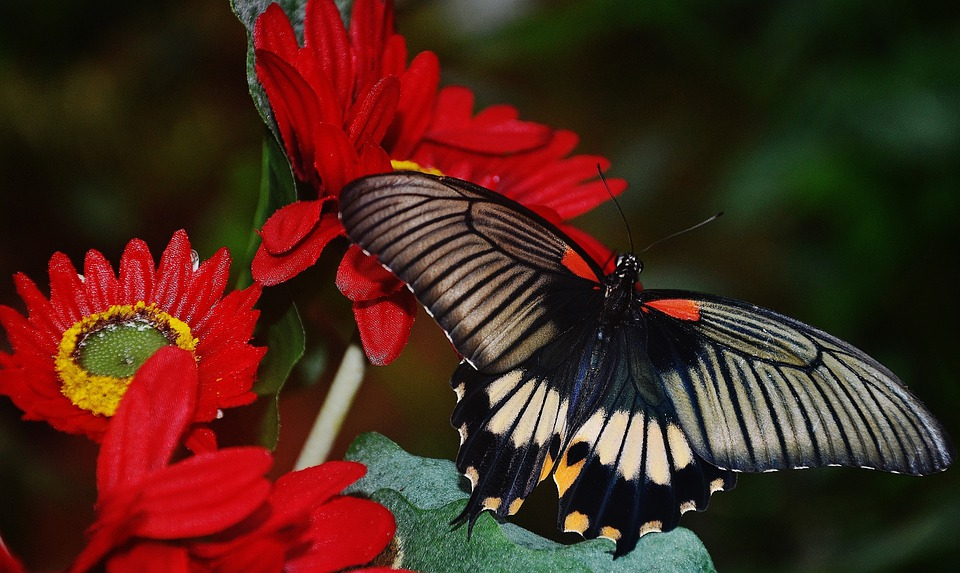 Black Butterfly Red · Free photo on Pixabay