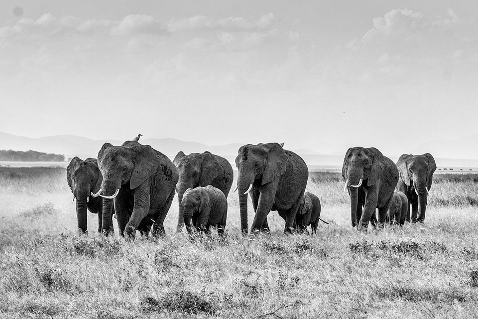 Photo gratuite l phant de savane africaine image gratuite sur pixabay 283867 - Photos d elephants gratuites ...
