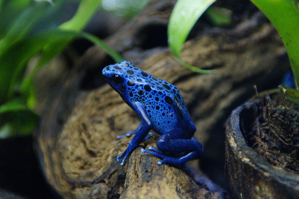Frog, Poison Frog, Blue, Tropical, Exotic, Small