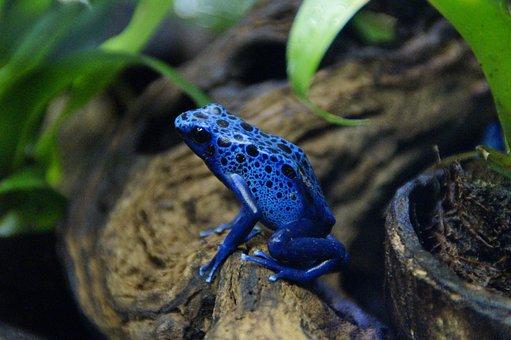 Rana, Veneno Del Sapo, Azul, Tropical