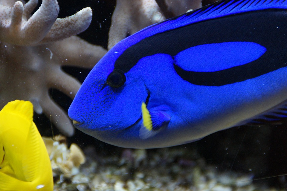 Surgeonfish pallets doctor fish free photo on pixabay for The fish doctor