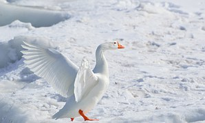 Greater Snow Goose, Goose