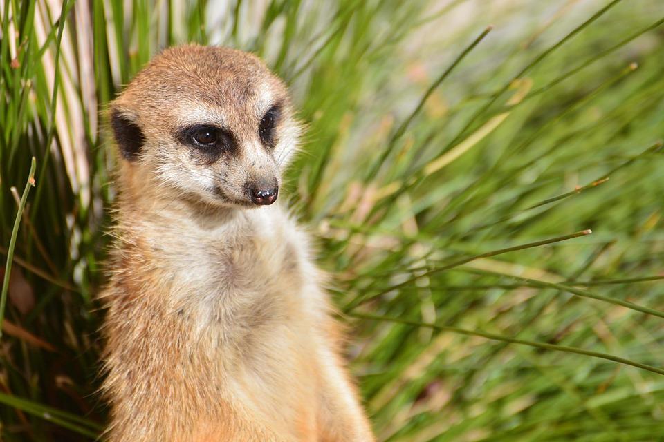 Erdmännchen Zoo Canberra · Kostenloses Foto auf Pixabay