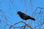 crow, corvus frugilegus, rook