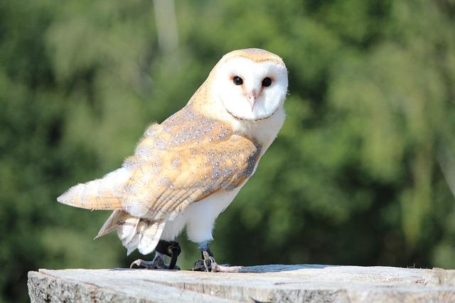 Free Photo Raptor Wild Bird Barn Owl Free Image On