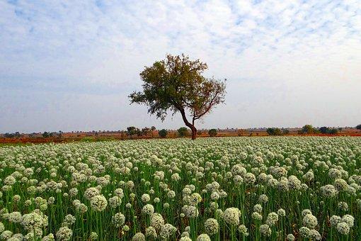 Onion Fields, Flower, Crop, India, Field