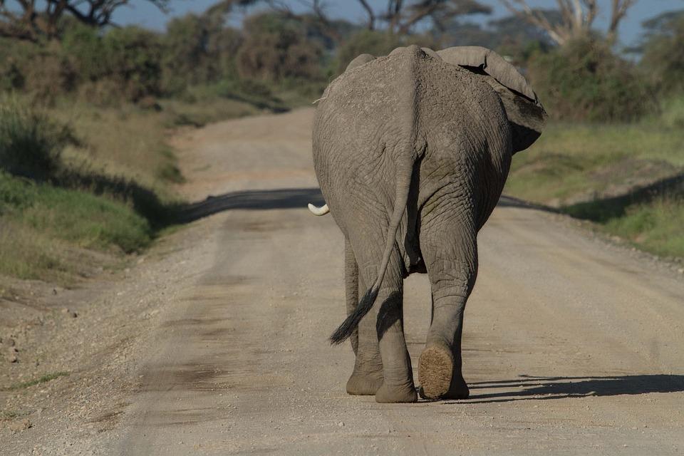 Afrika, Afrikanischer Elefant, Amboseli, Big Five