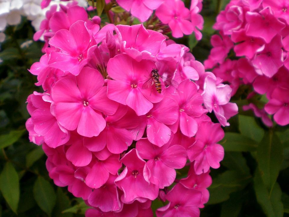 free photo phlox blossom bloom plant free image on pixabay 285610. Black Bedroom Furniture Sets. Home Design Ideas