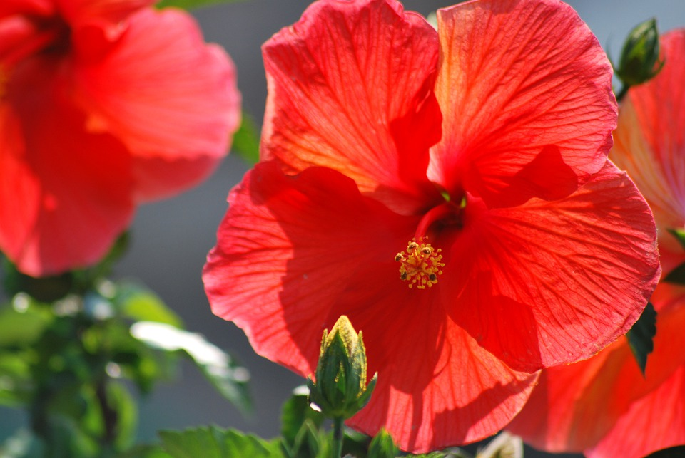 free photo flowers, orange, hibiscus, pretty  free image on, Beautiful flower