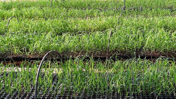 Nursery, Seedlings, Sugarcane, India