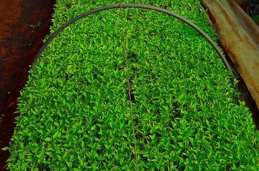 Seedlings, Chilli, Nursery, Agriculture
