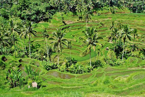 Greenery, Paddy, Fields, Rice, Crops