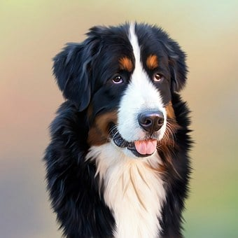 Dog, Bernese Mountain Dog, Berner