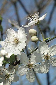 Fleur, Blanc, Printemps