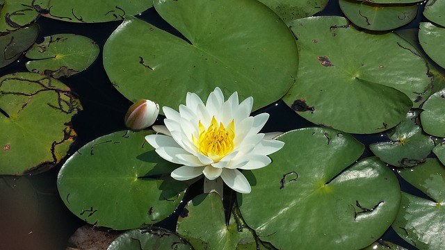 Lily Pad Flower Pond &...