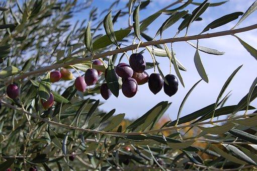 Olives, Olive Tree, France, Olive, Tree