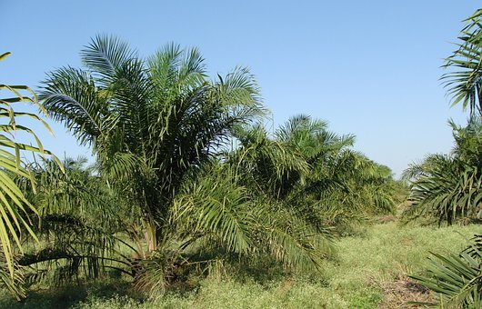 Oil Palm, Tree, Plantation, Horticulture