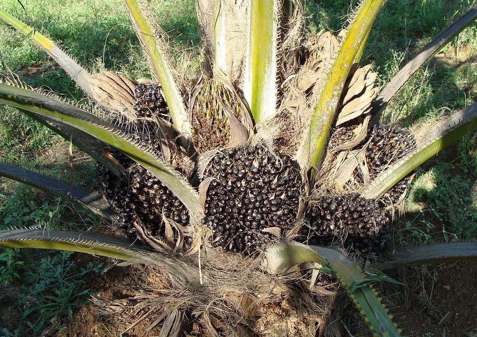 Bildergebnis für palmöl