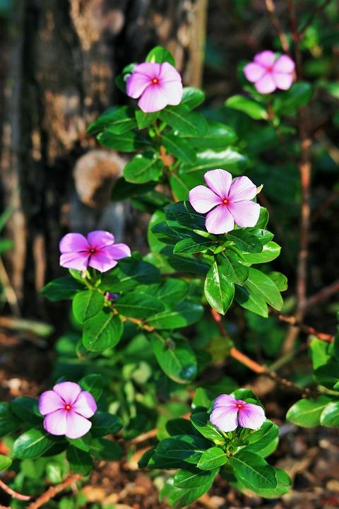 Pink periwinkle flower free photo on pixabay pink periwinkle flower pink periwinkle plant mightylinksfo