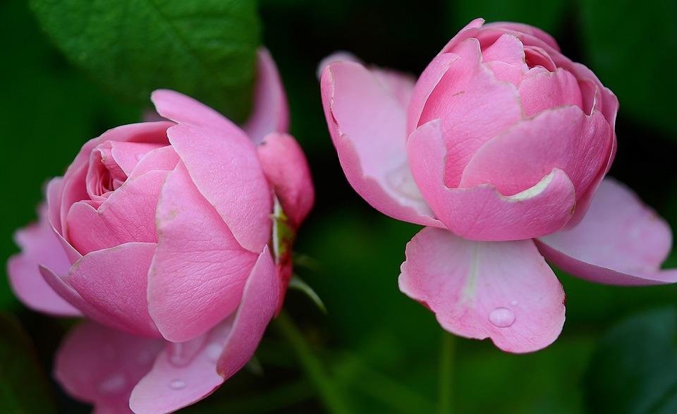 ローズ バラ科 花 · Pixabayの無...