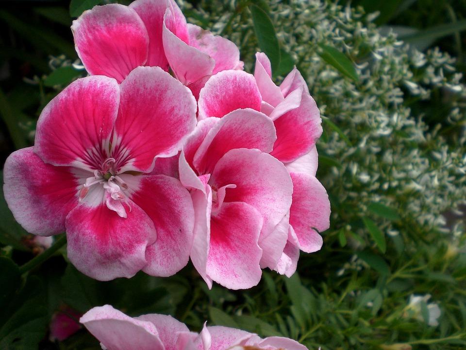 ゼラニウムの花言葉5つ・色別の花言葉5つ・花言葉の由来