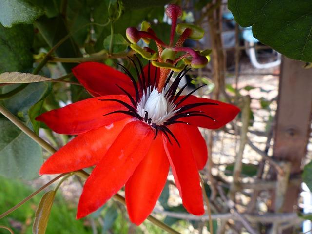 photo gratuite fleur passiflore rouge image gratuite sur pixabay 288204. Black Bedroom Furniture Sets. Home Design Ideas