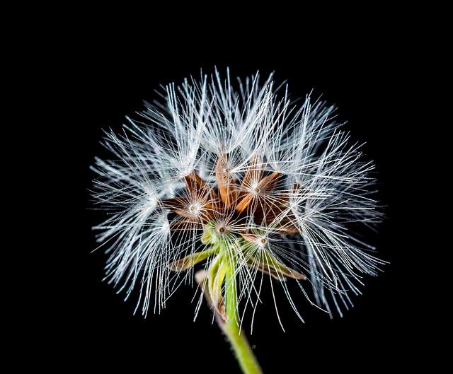dandelion small flower wild  u00b7 free photo on pixabay