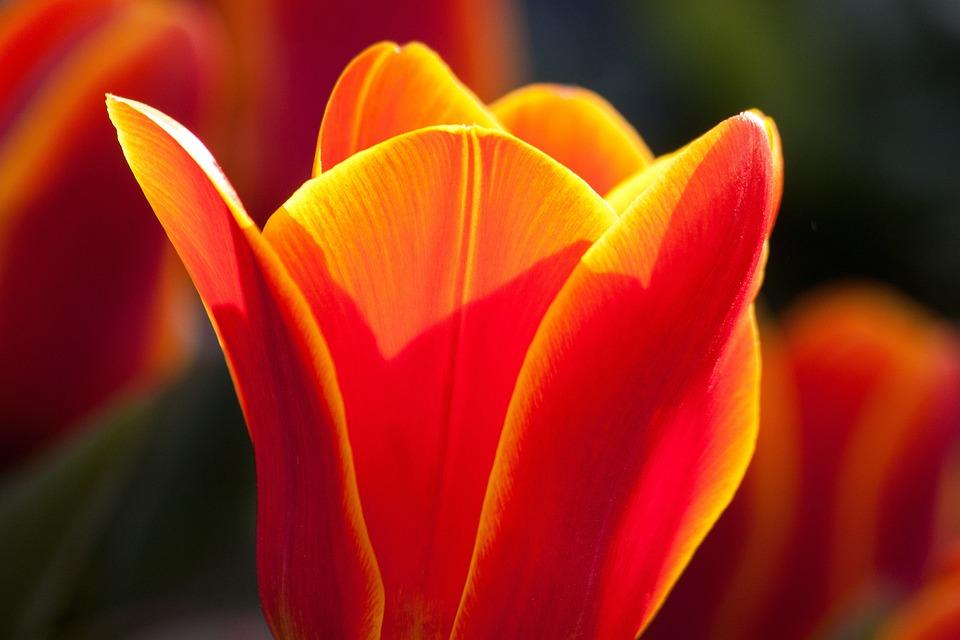 Tulip Lily Nature Flowers Tulips Schnittblume