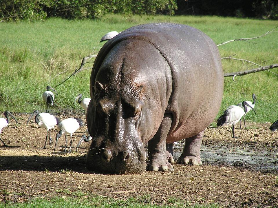Hippo River Hippopotamus 183 Free Photo On Pixabay