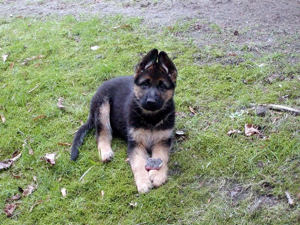 schäferhund welpe hund · kostenloses foto auf pixabay