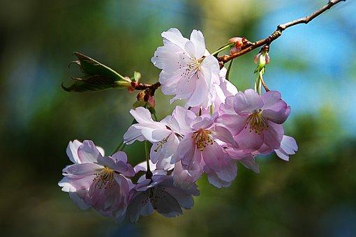 Fleur De Printemps, Arbre, Nature, Rose