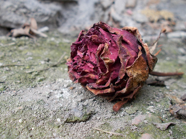 rose withered wildflower  u00b7 free photo on pixabay