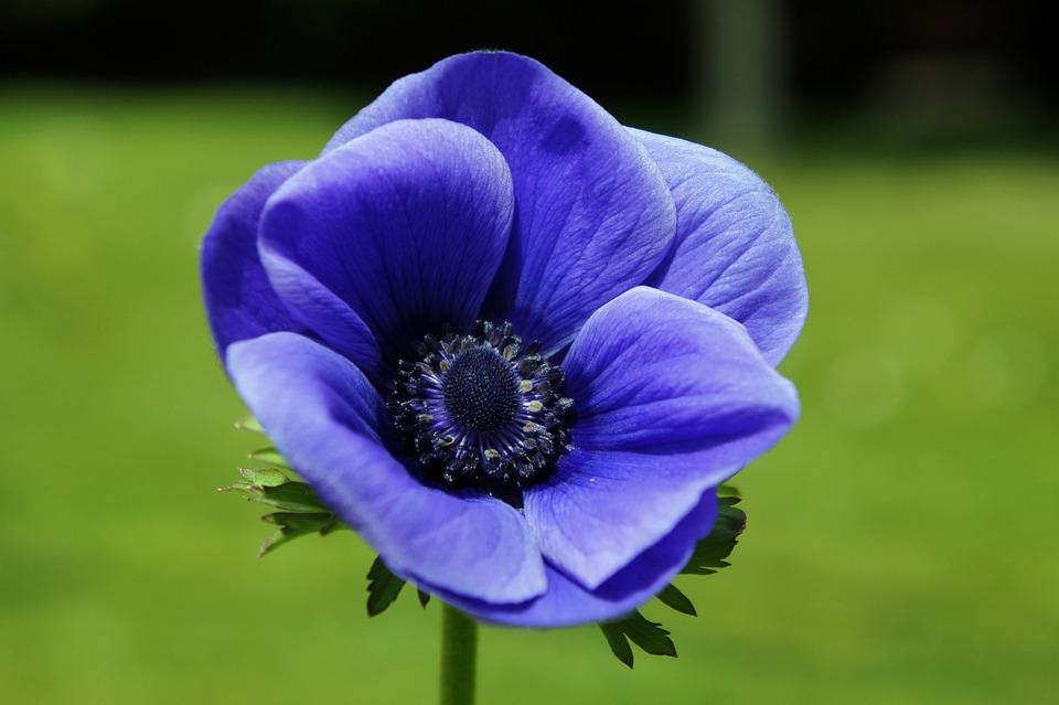 Anemone Blau Blume · Kostenloses Foto auf Pixabay
