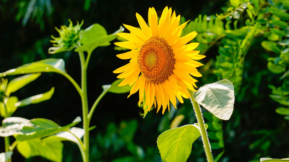 Free Photo Sunflower Nature Flowers Free Image On