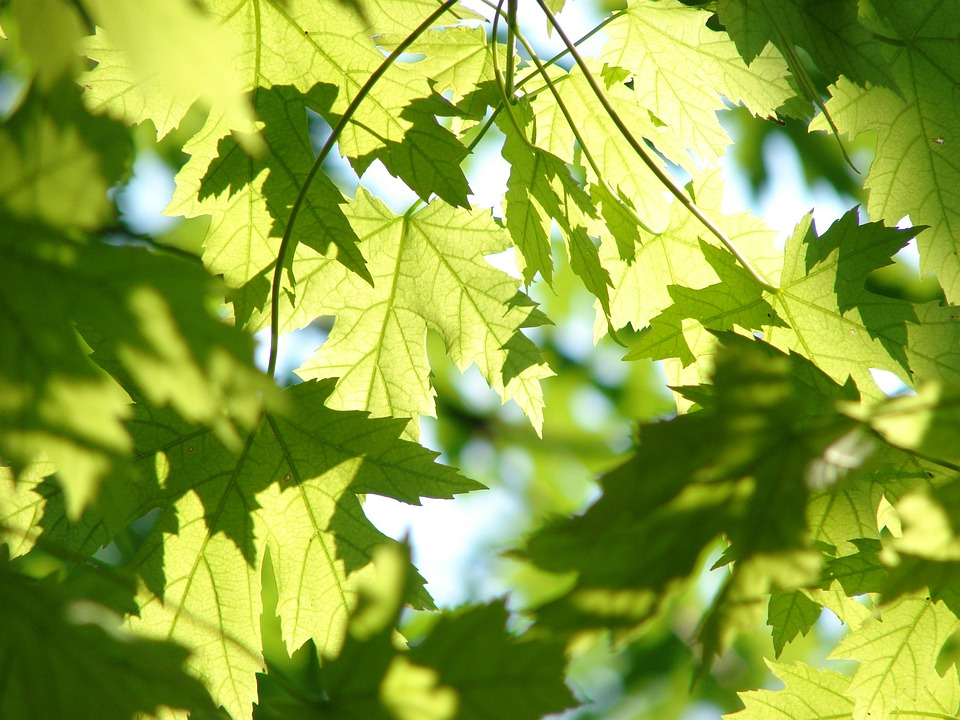 maple tree green leaves free photo leaves summer green maple free image on pixabay 291024