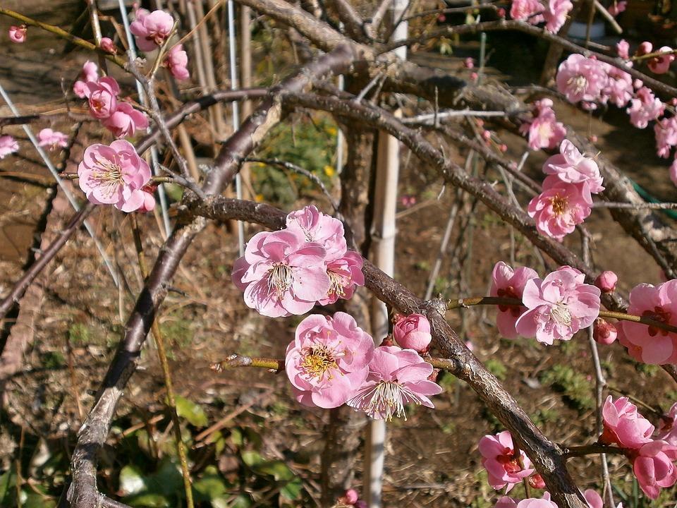 梅花, 红梅花, 春天, 粉色, 花床