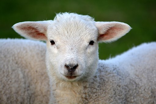 Lamb, Livestock, Animal, Mammal