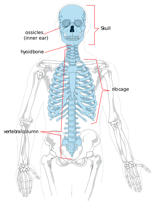 Skelett Knochen Menschliche · Kostenlose Vektorgrafik auf Pixabay
