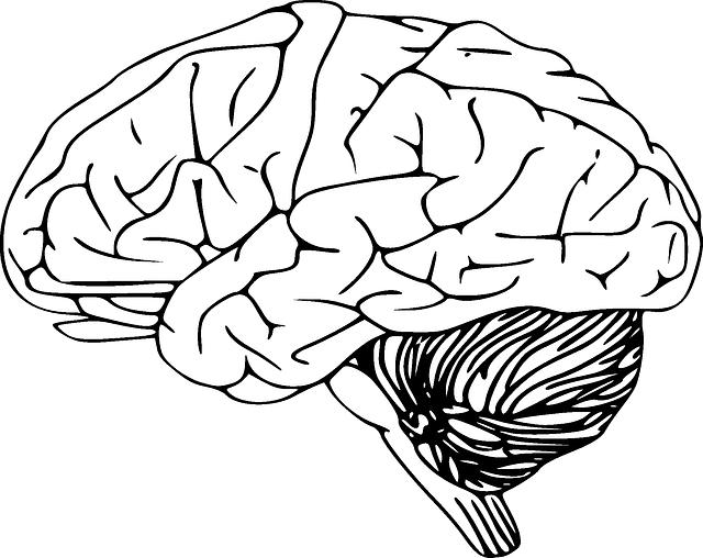 gehirn menschliche anatomie  u00b7 kostenlose vektorgrafik auf